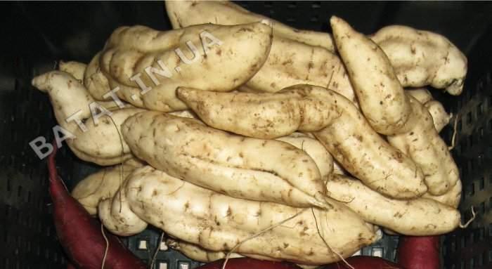 Батат - сорт сухумский белый или белый из новосибирского ботанического сада