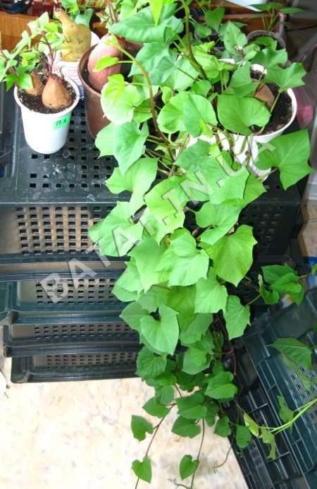Получение рассады батата, путем отращивания лиан