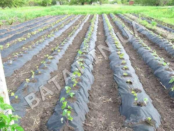 Батат, посадка в гребни укрытые агроволокном