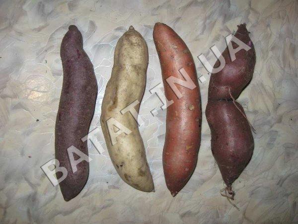 Маточные корнеплоды (клубни) батата