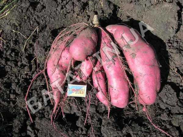 Сладкий картофель урожай