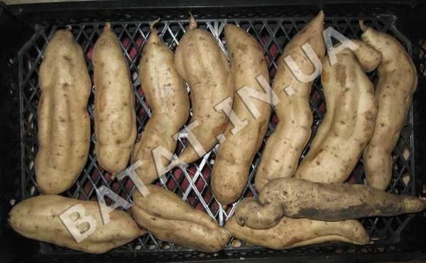 Батат - не картошка