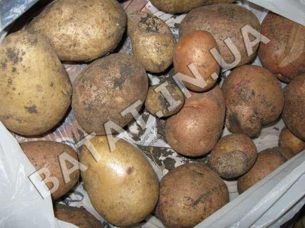 Картошка это не батат