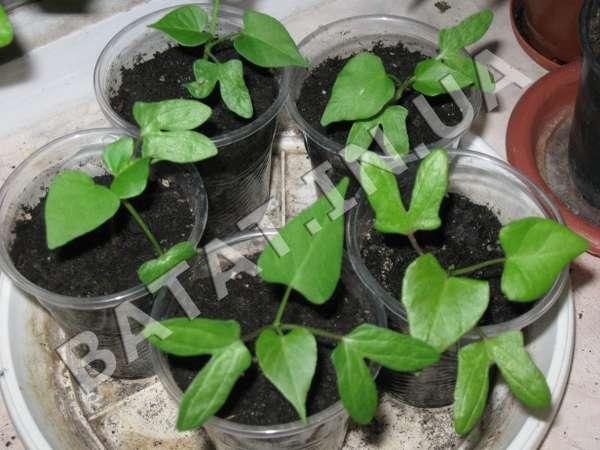 Сладкий картофель, выращивание рассады из семян