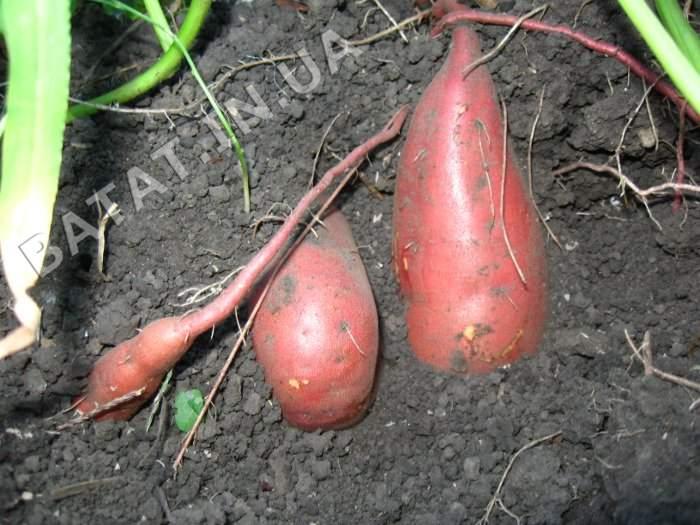 pochti-urozhay-batata-boregard