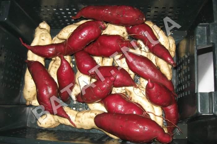 Мытый сладкий картофель, сорта бурячный и белый НБС