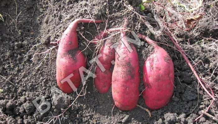 Корнеплоды сладкого картофеля во время выкопки