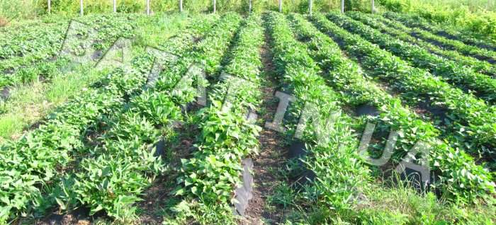 Схема посадки батата