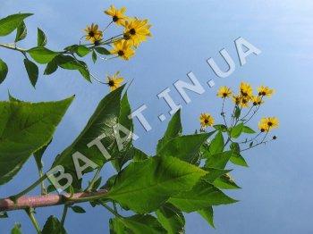 топинамбур цветение