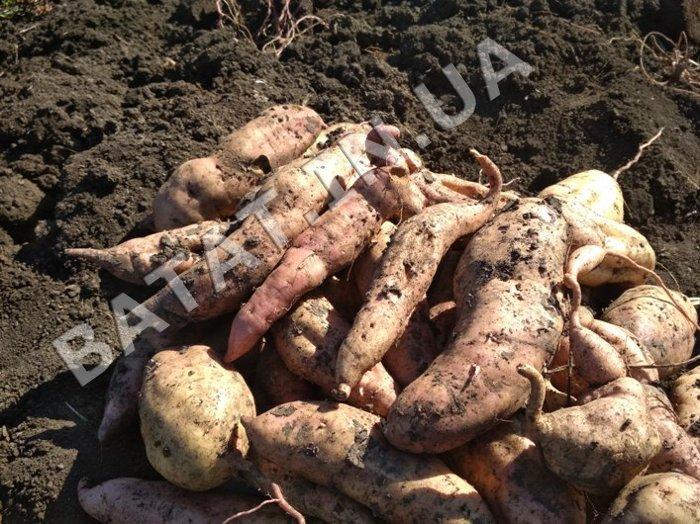 Урожай батата (сорт женьшень красный)