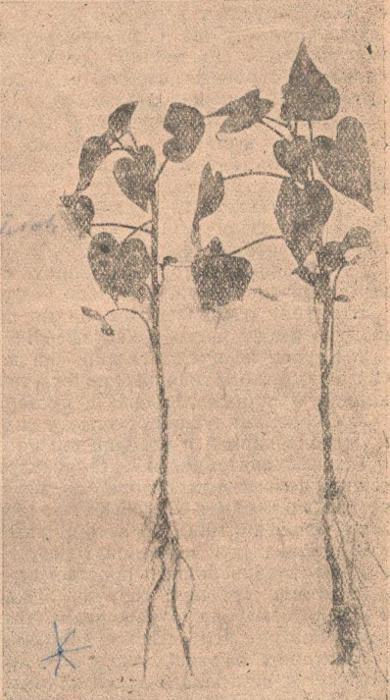 еренки батата, развившие корни, иа которых начинают образовываться утолщения. Снято через месяц после посадки в чистый песок