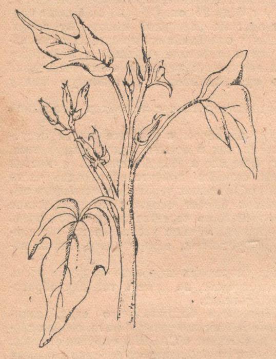 Соцветие батата в пазухах листьев у верхушки.