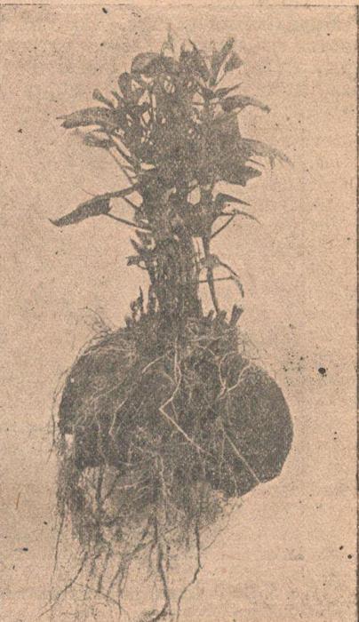 Клубень батата с ростками. Часть ростков срезана.
