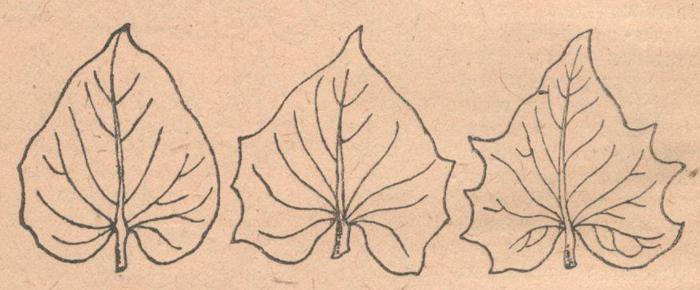 Многолопастндое листья батата.