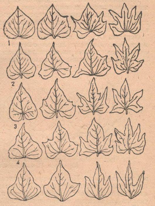 Основные и вторичные формы листьев батата