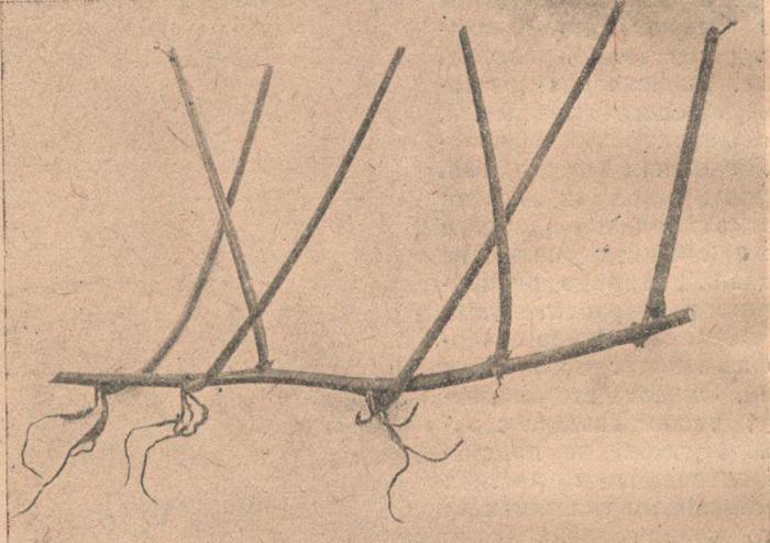 Плеть батата, укореняющаяся на узлах.