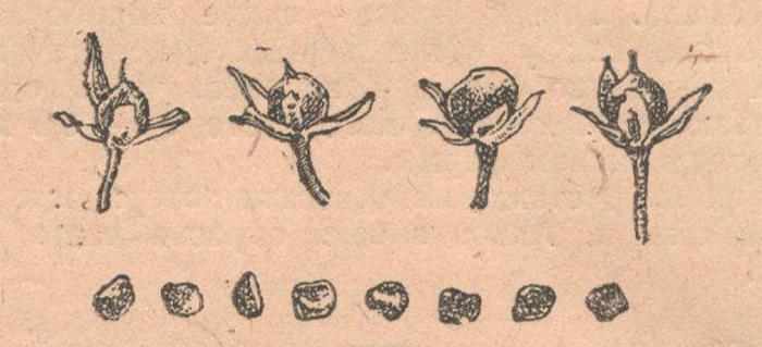 Плоды и семена батата.