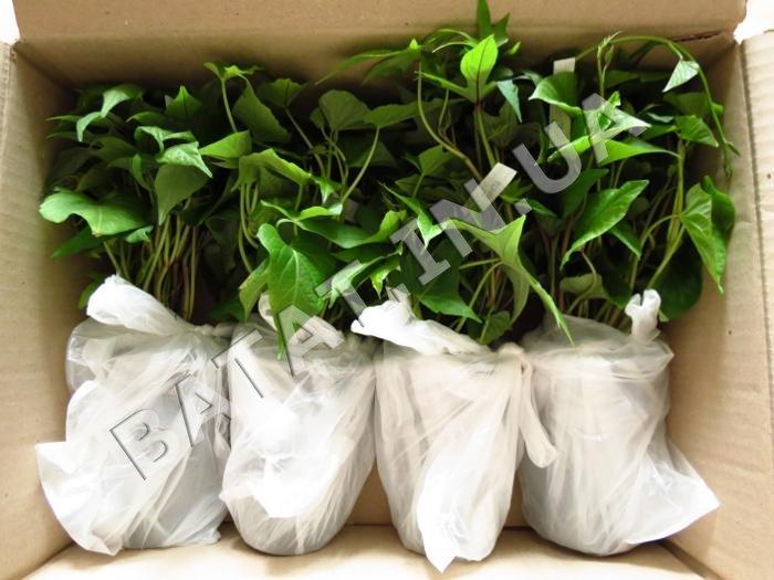 Оптовый заказ рассады батата (упаковка)