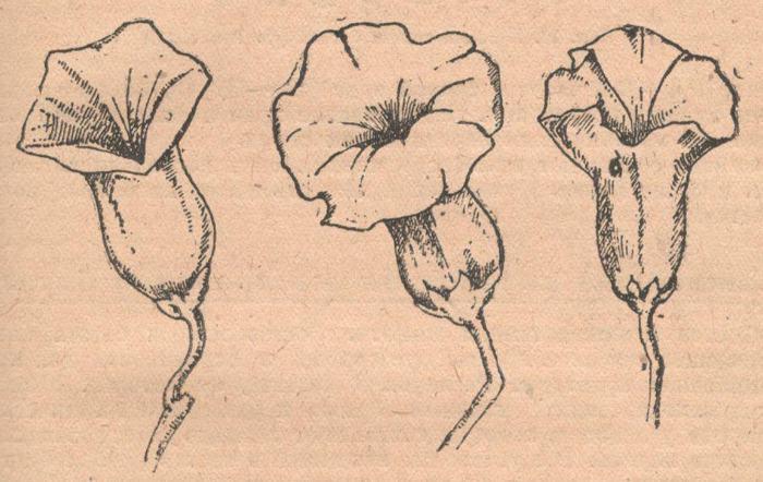 Различные формы цветов батата