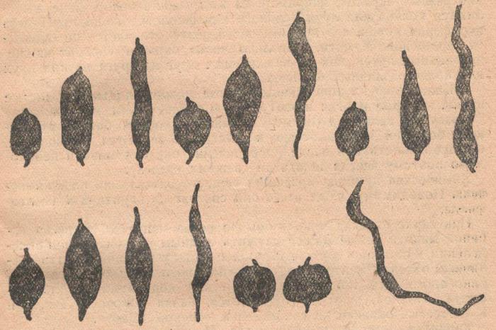 Разнообразие формы клубней батата.