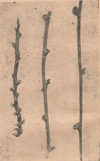 Стебли батата с различной длиной междоузлий