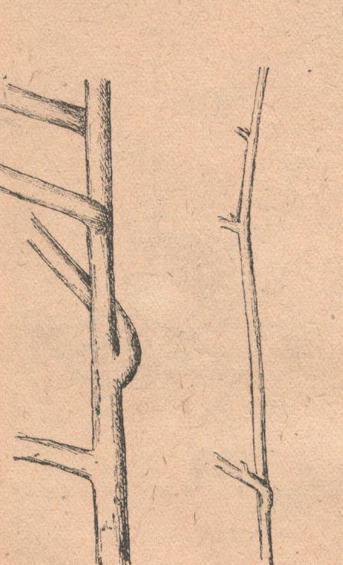 Толстый и тонкий стебли батата.