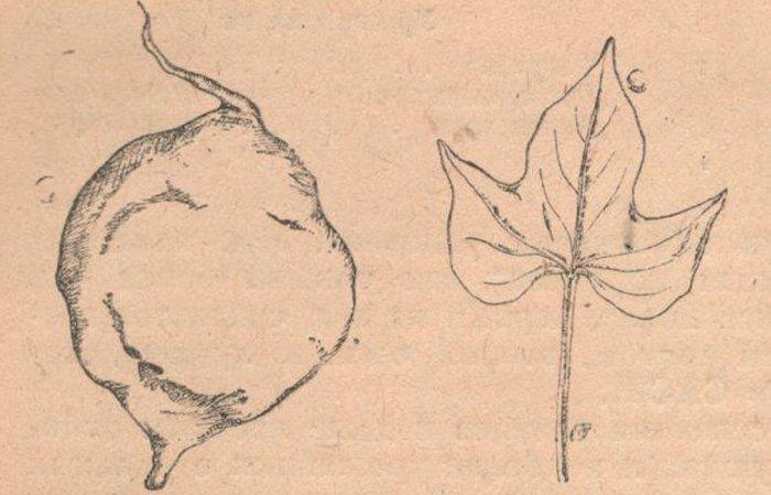 """Клубень и лист сорта """"Красный бермудский""""."""
